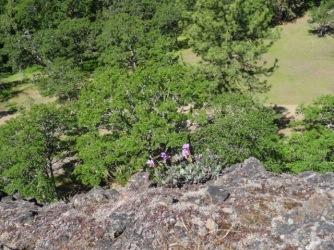 Penstemon on the cliff