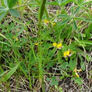 Seaside Birdsfoot trefoil