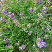 Lupine and plantain