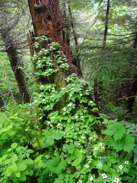 Alaskan bunchberry