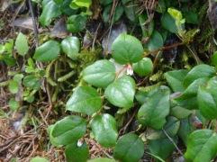 Western teaberry