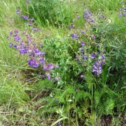 Penstemon and lupine