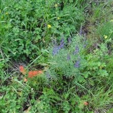 Paintbrush and lupine