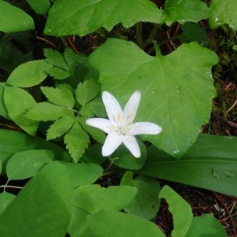 Bead lily