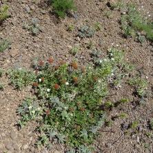 Buckwheat and chickweed