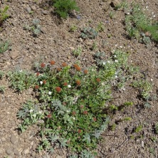 Buckwheat and chickweed