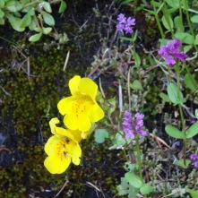 Monkey flower and rosy plectritis