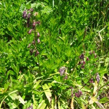 Western feather bells