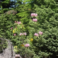 rhododendron along the road
