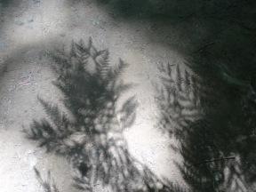 Cedar shadows
