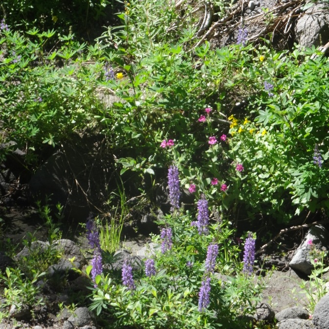 Lupine and Lewis monkey flower