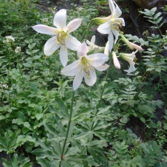 Mt. Hood Lily