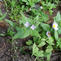 willow herb and aster