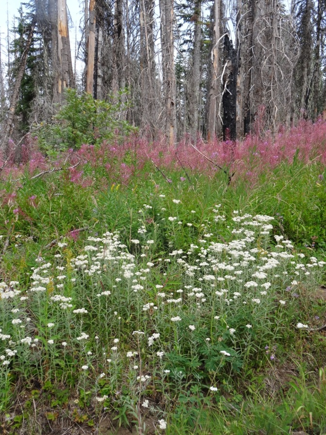 Pearly everlasting, fireweed, goldenrod