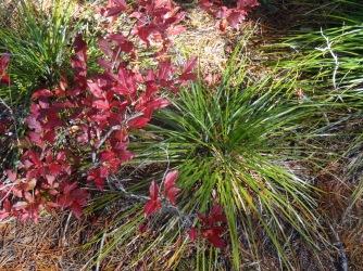 Huckleberry and bear grass