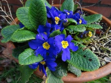 primroses return from last year