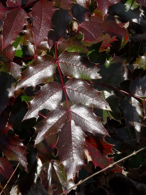 Oregon Grape foliage