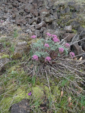 Columbia deserts parsley