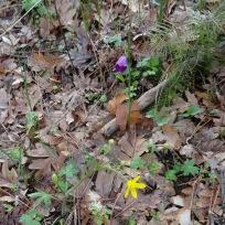 grass widows and buttercups