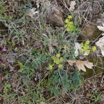 yellow parsley