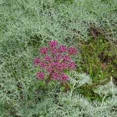 Columbia desert parsley