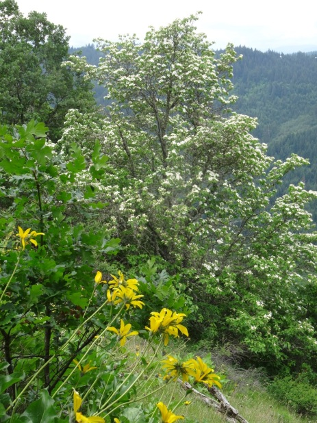 balsam root and dogwood