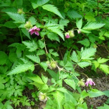 salmonberry flowers and berries
