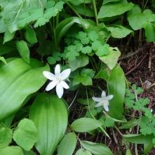 bead lilies