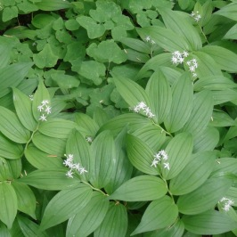 starry Solomon Seal