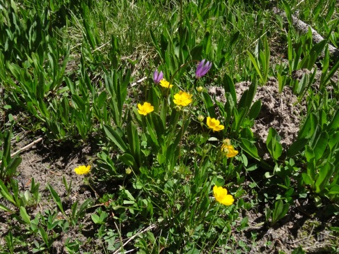 cinquefoil and shooting star