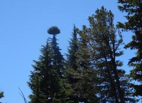 unusual tree top