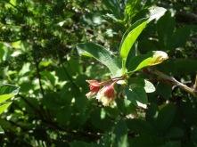 twin berry honeysuckle