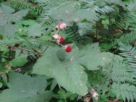 thimble berry
