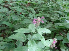 Hedge nettle