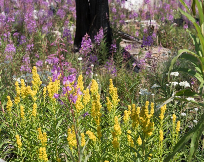 Goldenrod and fireweed