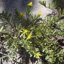 goldenweed