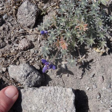 Tiny lupine