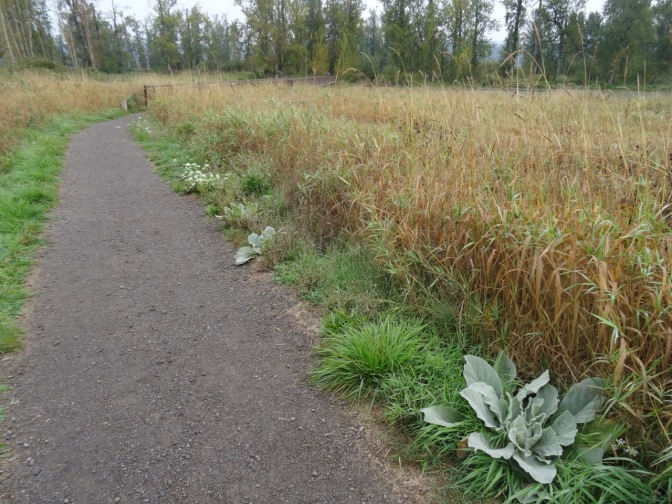 Fuzzy lettuce lines the path