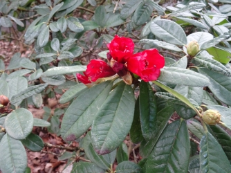 an early rhododendron