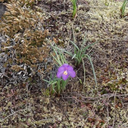 grass widow
