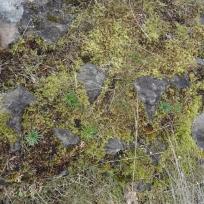 bitterroot foliage