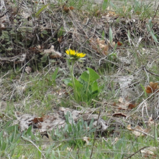 The first blooming balsamroot of spring!