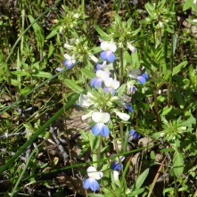 giant blue eyed Mary