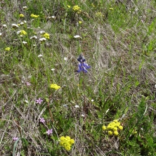 bicolored lupine, filaree, lomatium, popcorn flower
