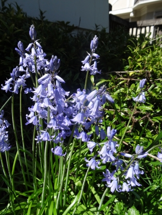 hyacinth blue bells