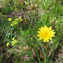 false dandelion