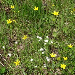 popcorn flower, buttercups