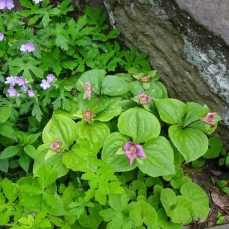 Trillium and geranium