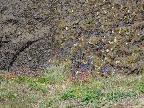 tufted saxifrage on a cliff