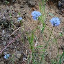 bluehead gilia